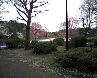 hanami20060402_1.jpg